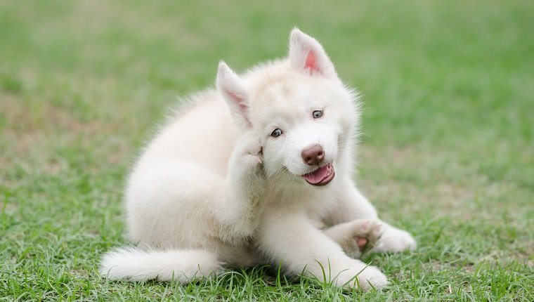 Cute siberian husky puppy scratching on green grass