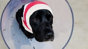 Hematomas In Dogs: Symptoms, Causes, And Treatments
