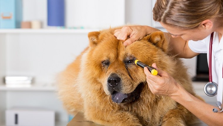 Veterinary inspecting the eyes of a dog Chow Chow in clinic