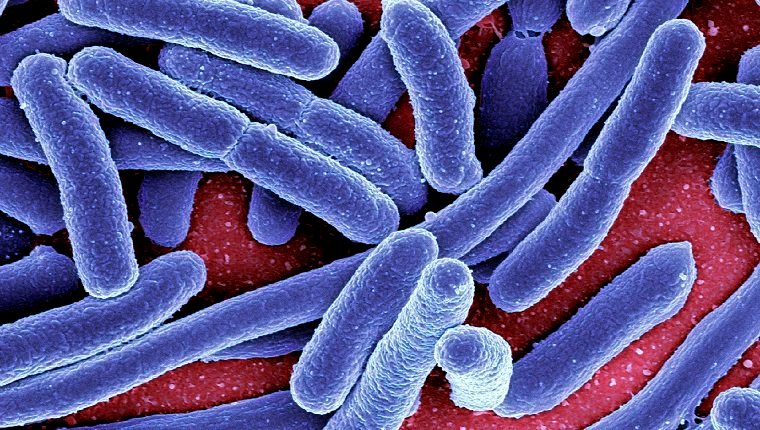 Escherichia coli bacteria, coloured scanning electron micrograph. E. coli bacteria are a normal part of the intestinal flora in humans and other animals, where they aid digestion. However, some strains, for instance E. coli O157, can produce a toxin that leads to severe illness or even death. Normal strains can also produce infections in weakened or immunosuppressed people. Magnification: x7000 when printed 10 centimetres wide.