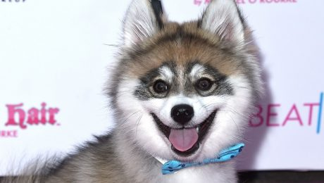 Pomsky Dog Breed Information, Facts, & Pictures