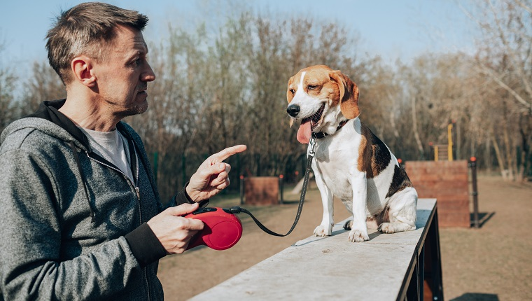Adult man teaching a beagle.