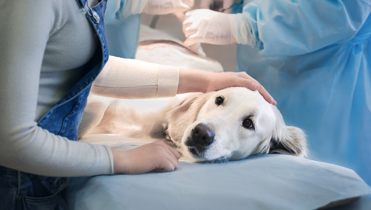 Ill golden retriever on operating table in veterinarian's clinic
