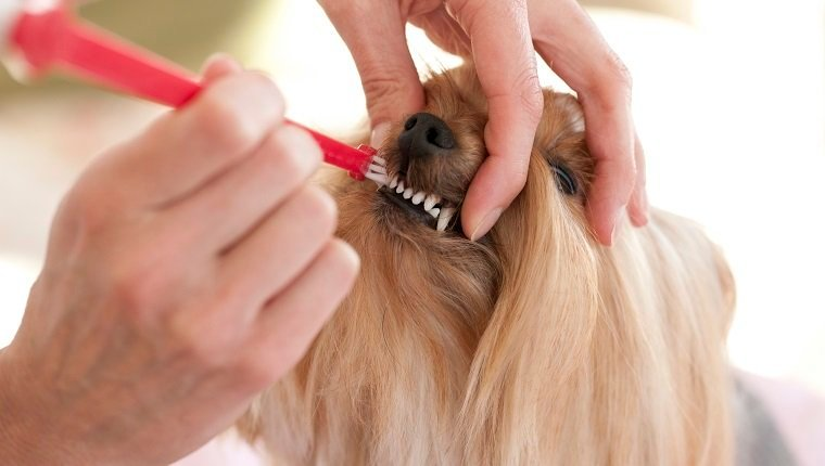 Yorkshire Terrier dog having her teeth brushed. She has very clean teeth with the use of dog toothpaste and a dog toothbrush. Dental Hygiene is a must.