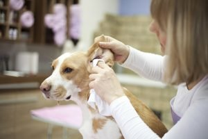 Hydrogen Peroxide In Ears: Is It Good For Your Dog?