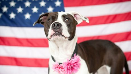 Pit Bulls–The History Of America's Most Feared Dog