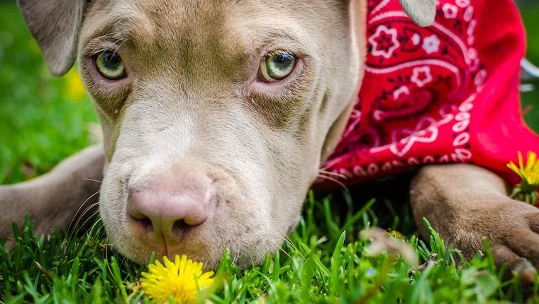 Pit bull puppy eating a flower on grass