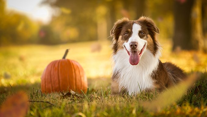 dog in field with pumpkin