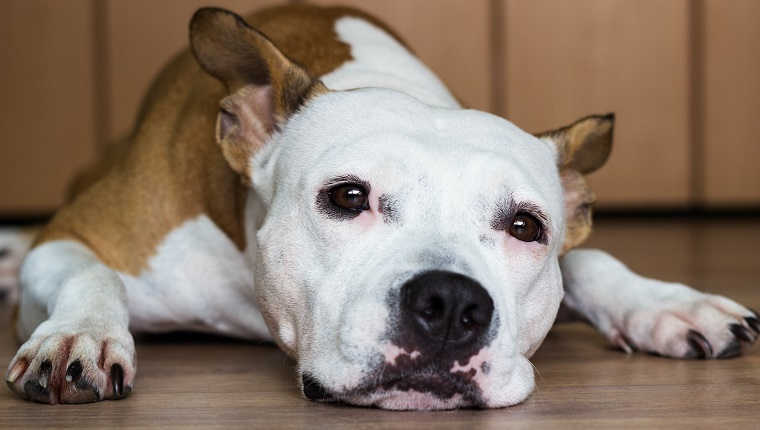 Cute American Staffordshire Terrier resting at home