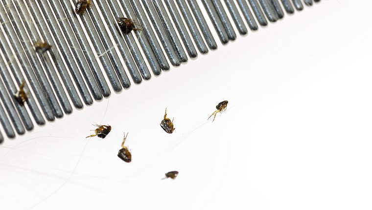 Dog Fleas on a Flea Comb after combing them off of a dog, against a white background