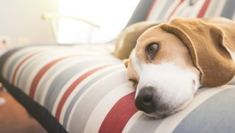 Amyloidosis In Dogs: Symptoms, Causes, & Treatments