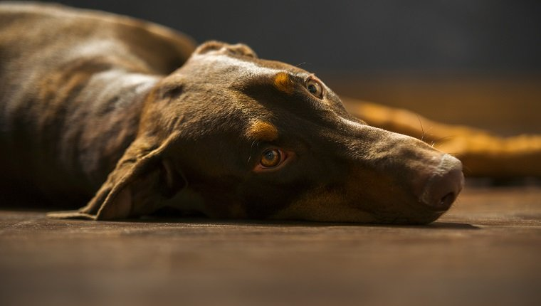 Stock photo of a sad, tired, one year old female Doberman,