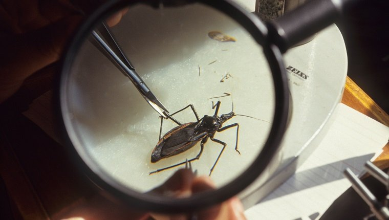 Rhoduius Prolixus feeding on blood. Chagas is an incurable disease transmitted by Triatominae bugs.