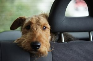 Uber, Lyft, and Taxis With Your Dog: What Car Services Let You Bring Your Dog?
