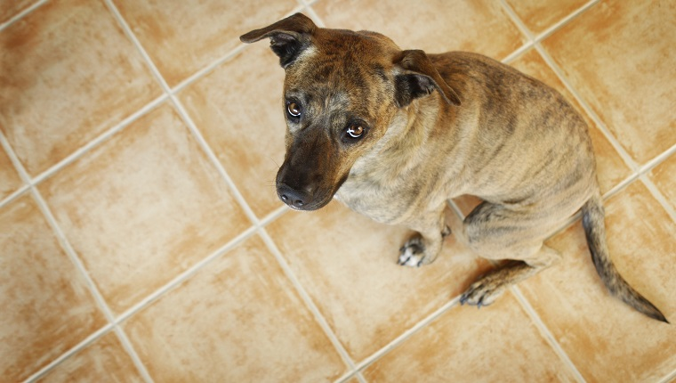 "An american staffordshire terrier mix looking like ""guilty"" of something. Canon Eos 1D MarkIII."