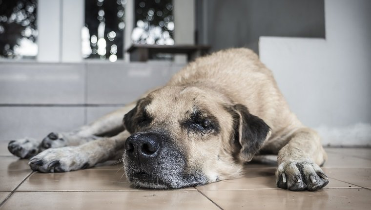 Lonely old dog lying in front of the door house waiting for owner.
