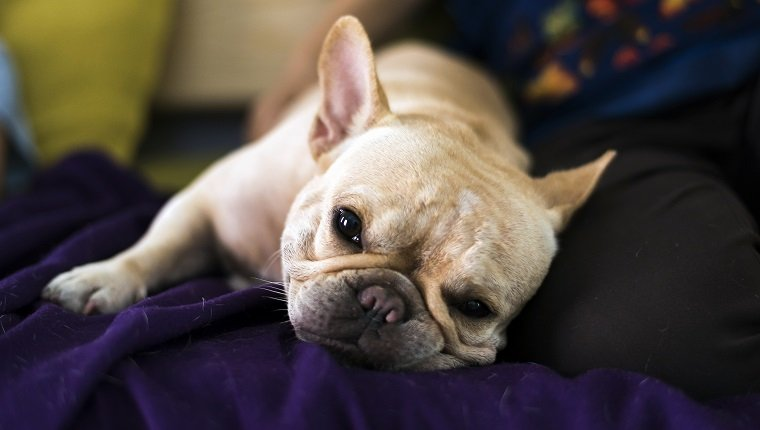 French bulldog lay on bed and looking