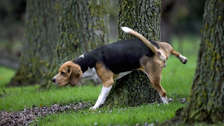 Tricolour Beagle dog urinates against tree in forest. (Photo by: Arterra/UIG via Getty Images)