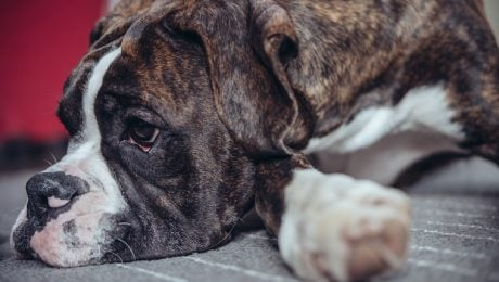 Pyloric Stenosis In Dogs: Symptoms, Causes, & Treatments