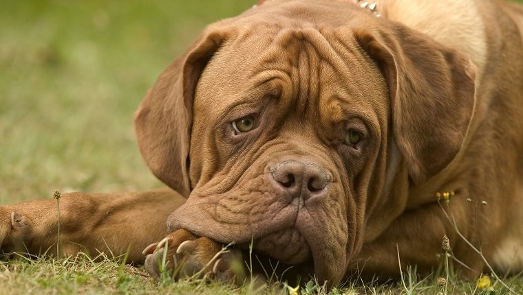 French bulldog or Bouledogue franais, Canis familiaris, portrait, lying on grass. A loyal, patient, fearless breed, confrontational with strangers. Drools. (Photo by: Auscape/UIG via Getty Images)