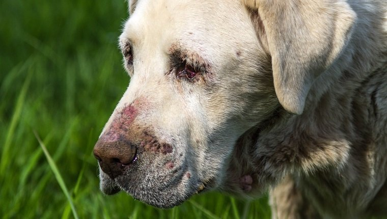 Close-up image of senior White Labrador dog in poor health. has cutaneous vasculitis.