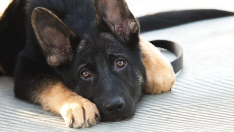 Aortic Stenosis In Dogs: Symptoms, Causes, & Treatments