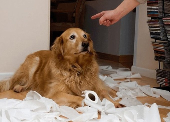 Golden Retriever with a seemingly guilty look