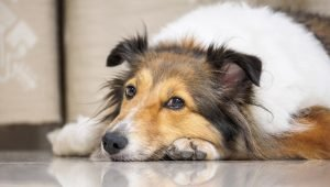 Dermatomyositis In Dogs: Symptoms, Causes, & Treatments