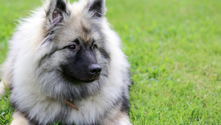 Beautiful, calm Keeshond dog resting outdoors, image with copy space.
