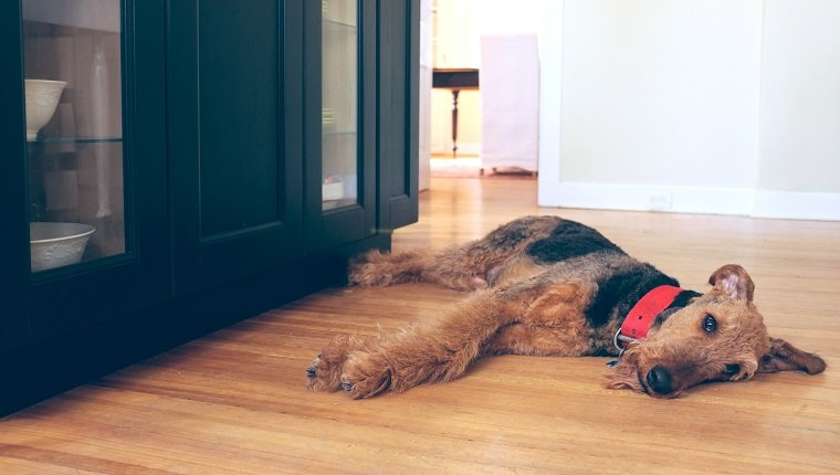 Airedale Terrier dog lying on a kitchen floor looking sad or tired