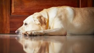Mycoplasma Infection In Dogs: Symptoms, Causes, & Treatments