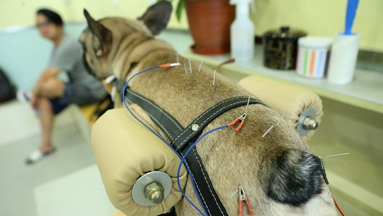 SHANGHAI, CHINA - AUGUST 27: A dog receives acupuncture at a pet treatment center on August 27, 2017 in Shanghai, China. A pet treatment center uses acupuncture and smoking wormwood to relief pains in bodies of dogs and cats in Shanghai. (Photo by VCG/VCG via Getty Images)