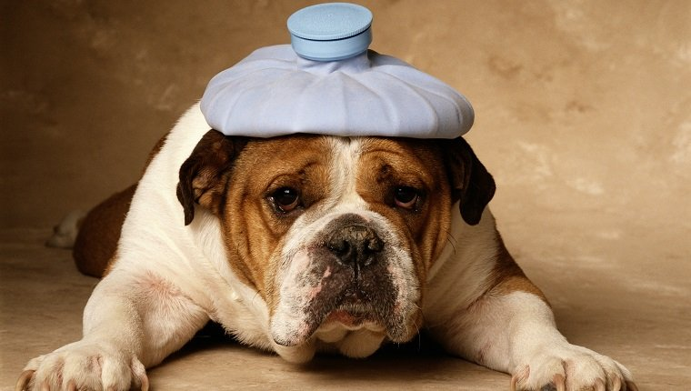BULLDOG WITH HEADACHE