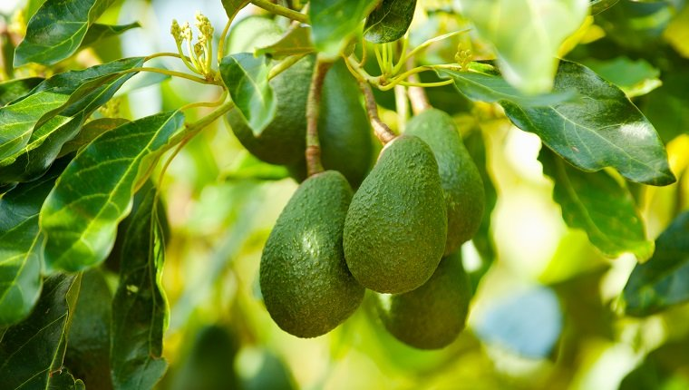 Avocados on a tree, Santa Paula, Ventura County, California, USA