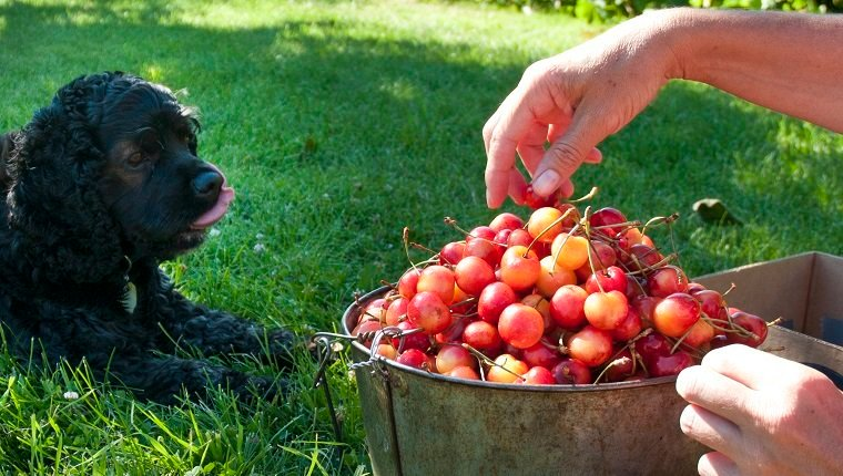 Cocker spaniel eats ripe ranier cherries in the Okanagan, BC.
