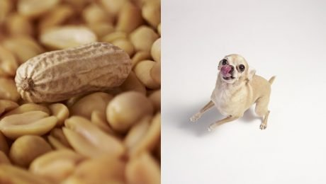 Can Dogs Eat Peanuts? Are Peanuts Safe For Dogs?