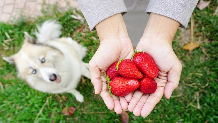 close up detail of the fresh red strawberries on human hands with beautiful dog sitting on the garden background