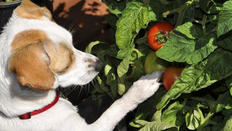 My dog became very curious when she noticed the tomatoes hanging off the vine.