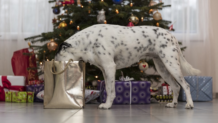 A crossbreed dog is looking into a bag with christmas presents