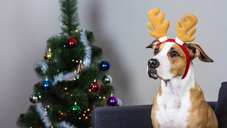 Staffordshire terrier puppy sitting on sofa with masquerade deer horns headband on its head in front of decorated christmas tree