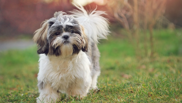 Shih tzu puppy in nature