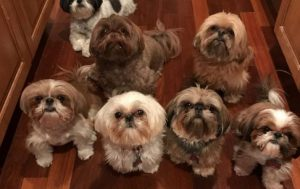 30 Great Names For Shih Tzu Dogs [PICTURES]