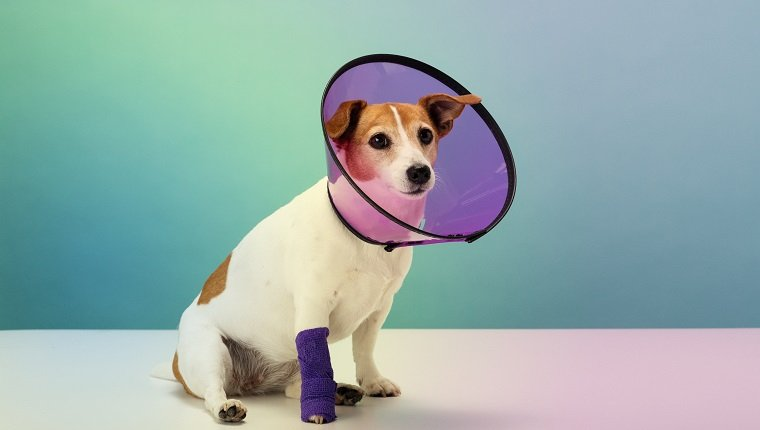 Jack Russell Terrier wearing plastic protective cone collar, bandage on paw, portrait