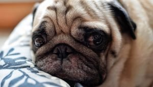 The Problem With Breeding Brachycephalic (Short-Faced) Dogs