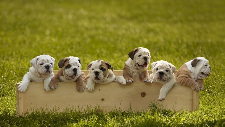 Bulldog Puppies In Box On Grass