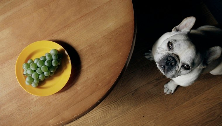 Sour grapes in yellow plate on table and dog look up camera wistfully.