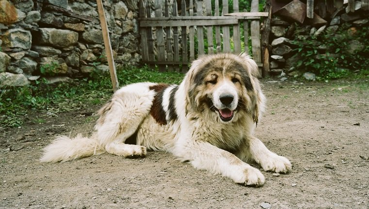 Caucasian Mountain Shepherd For Sale >> Caucasian Shepherd Dog Breed Information Pictures Dogtime