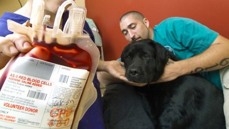 How To Help Your Dog Become A Blood Donor And Save Lives
