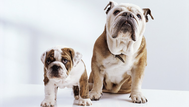 English Bulldog with Puppy