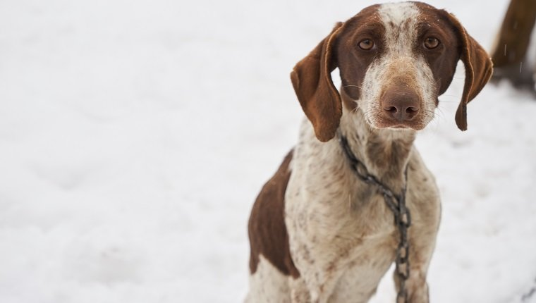 Sad pointer dog in snow posing